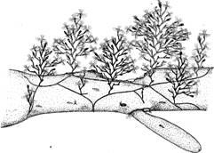 Морфология колонии у гидроида obelia loveni
