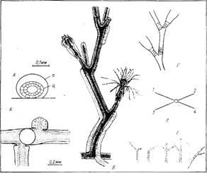 Морфология колонии гидроида obelia longissima