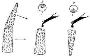 Морфология колонии и распределительная система у двух видов герматипных кораллов рода acropora