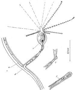 Морфофункциональный анализ стелющейся колонии у гидроидов на примере cordylophora inkermanica marfenin