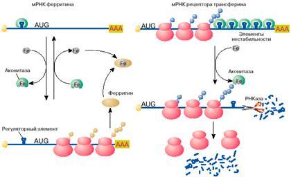 Что и как закодировано в мРНК