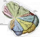 Описание: мозжеок.jpg