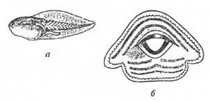 Головастик и ротовой диск краснобрюхой жерлянки, Bombina bombina