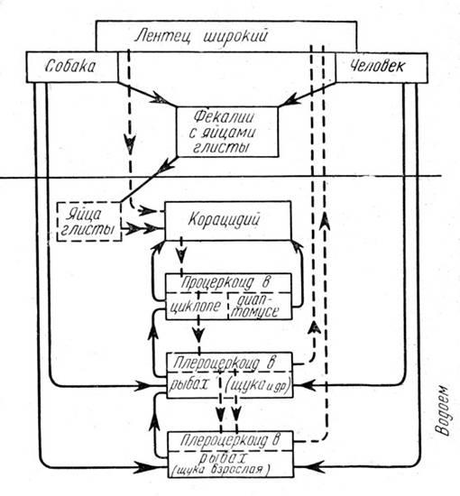 Рис. 20. Пути жизненного цикла лентеца широкого (Diphyllobothrium latum). Сплошные линии - пищевые связи; пунктир - путь циркуляции (оригин. Схема Е. Н. Павловского)