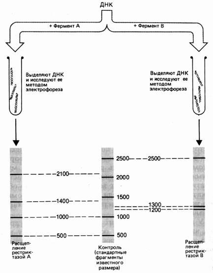 анализ электрофореза после обработки рестриктазами