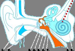 Анатомия человеческого уха