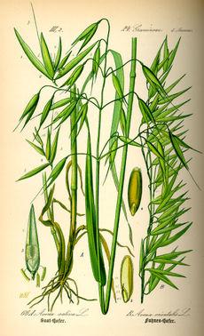 Овёс обыкновенный, или кормовой. Ботаническая иллюстрация из книги О. В. Томе Flora von Deutschland, Österreich und der Schweiz, 1885
