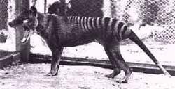 Тасманийский тигр тыласин