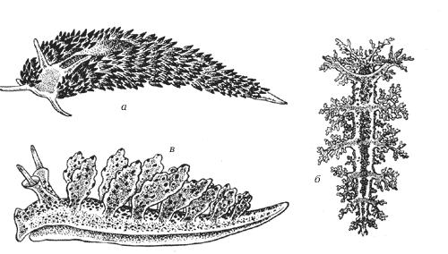 Голожаберные моллюски: а – эолис, б – дендронотус, в – индулия
