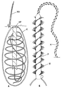 Схема строения стрекательной капсулы