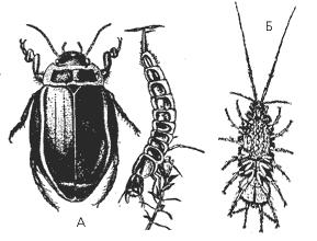 А – плавунец широкий и его личинка; Б – самка водяного ослика с выводковой камерой