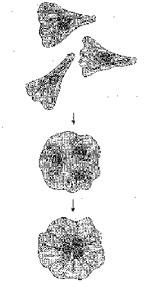 Рис. 2. Схема опыта со слиянием нескольких одноядерных клеток