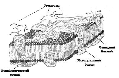 Рис. 3. Структура биологических мембран