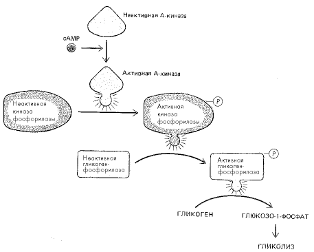 Рис. 3. Схема стимулирования распада гликогена повышением уровня цАМФ