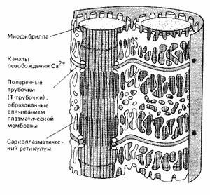 Рис. 6. Система мембран, передающая сигнал от плазмалеммы мышечной клетки ко всем миофибриллам