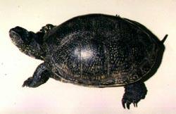 европейская болотная черепаха (Emys orbicularis), фото, фотография