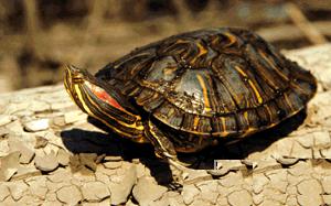 красноухая черепаха, черепаха красноухая, красноушка (Trachemys scripta scripta), фото, фотография