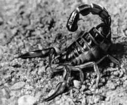 Пестрый скорпион
