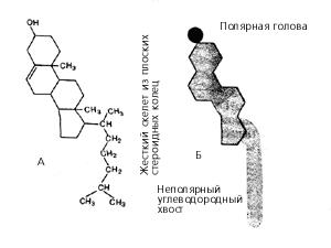 Молекула холестерина (холестерола) в виде химической формулы (А) и схематического изображения (Б)