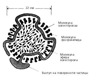 Липопротеиновая частица низкой плотности (ЛПНП) в поперечном разрезе. Структуру организует одна молекула белка