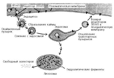 Транспорт ЛПНП в клетку и деградация их в лизосоме до холестерола