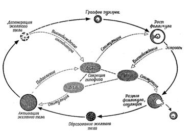 Общая схема полового цикла и его регуляция