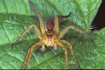 Dolomedes fimbriatus, паук
