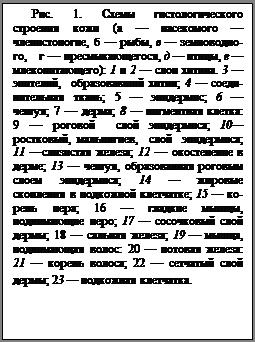 Подпись: Рис. 1. Схемы гистологиче¬ского строения кожи (а — насекомого — членистоногие, б — рыбы, в — земноводно¬го, г — пресмы-кающегося, д — птицы, е — млекопита-ющего): 1 и 2 — слои хити¬на. 3 — эпителий, образо¬вавший хитин; 4 — соеди¬нительная ткань; 5 — эпи¬дермис; 6 — чешуя; 7 — дер-ма; 8 — пигментная клетка: 9 — роговой слой эпидер¬миса; 10—ростковый, мальпиги-ев, слой эпидермиса; 11 —слизистая железа; 12 — окостенение в дерме; 13 — чешуя, об-разованная рого¬вым слоем эпидермиса; 14 — жировые скопления в под¬кожной клетчатке; 15 — ко¬рень пера; 16 — гладкие мышцы, поднимающие перо; 17 — сосочковый слой дер¬мы; 18 — сальная железа; 19 — мышца, поднимающая волос: 20 — потовая железа: 21 — корень волоса; 22 — сетчатый слой дермы; 23 — подкожная клетчатка.