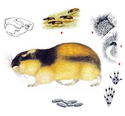 Норвежский лемминг - Lemmus lemmus